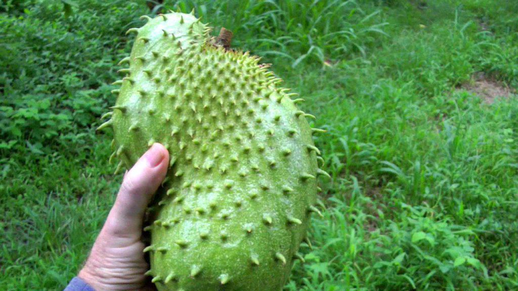 Le graviola est un fruit riche en antioxydant anti cancer natuel puissant
