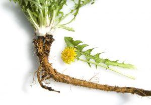 La racine de pissenlit bio ou dent de lion bio en gélules pour le traitement naturel du cancer